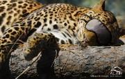 沙漠猎豹 创意动物PS壁纸 创意无限趣味动物篇 插画壁纸