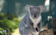 澳大利亚考拉 动物壁纸