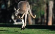 澳洲野生动物 动物壁纸