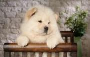 白色松狮犬 动物壁纸