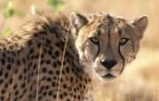 豹子写真 动物壁纸