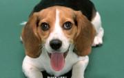 Beagle 比格猎犬 动物壁纸