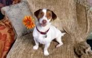 超大宽屏宠物壁纸之小狗写真 动物壁纸