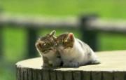 超可爱得意小猫壁纸II 动物壁纸