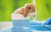 宠物宝贝三可爱兔子壁纸 动物壁纸