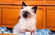 宠物宝贝四小猫壁纸 动物壁纸