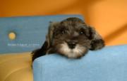 宠物狗狗壁纸 迷你雪纳瑞 Miniature Schnauzer 宠物狗 迷你雪纳瑞图片 迷你雪纳瑞桌面壁纸 宠物狗狗迷你雪纳瑞 动物壁纸