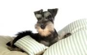 宠物狗狗壁纸 迷你雪纳瑞 Miniature Schnauzer 宠物狗 迷你雪纳瑞的图片 迷你雪纳瑞桌面壁纸 宠物狗狗迷你雪纳瑞 动物壁纸