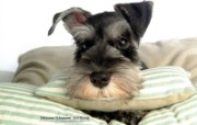 宠物狗狗壁纸 迷你雪纳瑞 Miniature Schnauzer Miniature Schnauzer Puppies Photos Miniature Schnauzer Dog Wallpaper 宠物狗狗迷你雪纳瑞 动物壁纸