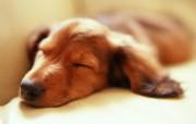 宠物狗狗图鉴迷你腊肠犬壁纸第二集 动物壁纸