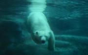 大笨熊壁纸 动物壁纸