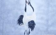 丹顶鹤壁纸鹤舞壁纸 动物壁纸