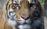 狮虎豹专辑 10 19 狮虎豹专辑 动物壁纸