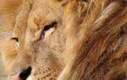 狮虎豹专辑 10 18 狮虎豹专辑 动物壁纸