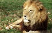 狮虎豹专辑 10 17 狮虎豹专辑 动物壁纸