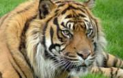 狮虎豹专辑 10 15 狮虎豹专辑 动物壁纸