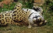 狮虎豹专辑 10 14 狮虎豹专辑 动物壁纸