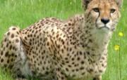 狮虎豹专辑 10 13 狮虎豹专辑 动物壁纸