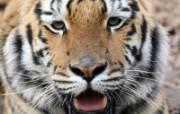 狮虎豹专辑 10 12 狮虎豹专辑 动物壁纸
