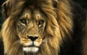 狮虎豹专辑 10 10 狮虎豹专辑 动物壁纸