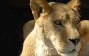 狮虎豹专辑 10 9 狮虎豹专辑 动物壁纸