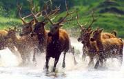 动物世界鹿 动物壁纸