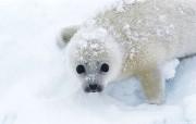 动物写真海狮 动物壁纸