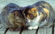 东瀛风情猫之壁纸 动物壁纸