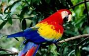 多彩鹦鹉 动物壁纸