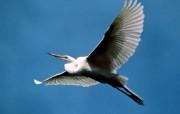 飞翔的鸟儿壁纸 动物壁纸