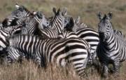 非洲野生动物宽屏壁纸 动物壁纸