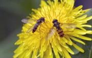 蜂花之恋 高清壁纸 动物壁纸