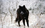 狼的写真 动物壁纸