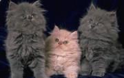 富贵猫壁纸 动物壁纸