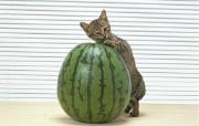 富贵猫专辑 富贵猫壁纸 动物壁纸