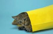 富贵猫壁纸 富贵猫壁纸 动物壁纸