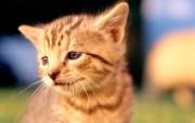 高清可爱猫咪写真 高清可爱猫咪写真 动物壁纸