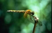 高清晰蜻蜓桌面壁纸 动物壁纸