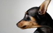 高清晰可爱小狗桌面壁纸 高清晰可爱小狗桌面壁纸 动物壁纸