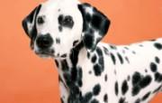 狗的写真壁纸 动物壁纸