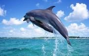 海豚写真 动物壁纸