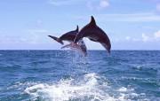 海洋的精灵海豚 动物壁纸