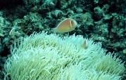 珊瑚海葵 动物壁纸