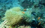海之菊-海葵 海之菊-海葵 动物壁纸