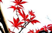 红叶写真壁纸 动物壁纸