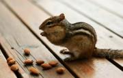 后院里的花栗鼠 可爱花栗鼠 贪吃杏仁的花栗鼠图片 后院里的花栗鼠 35张 动物壁纸