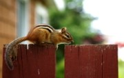 后院里的花栗鼠 可爱花栗鼠图片壁纸 后院里的花栗鼠 35张 动物壁纸