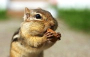 后院里的花栗鼠 超可爱 贪吃杏仁的花栗鼠图片 后院里的花栗鼠 35张 动物壁纸