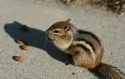 后院里的花栗鼠 贪吃杏仁的花栗鼠图片 后院里的花栗鼠 35张 动物壁纸