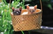 竹篮里的可爱小猫咪图片壁纸 后院里的小猫咪 动物壁纸